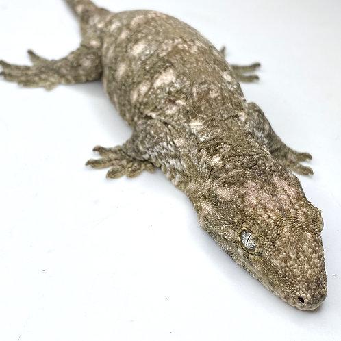 Moro (Isle E) Leachie - Rhacodactylus leachianus- Female  - ID:20BW1F