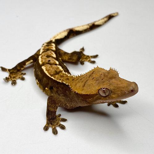 Dark Harlequin Crested Gecko ID: 19CO1