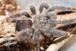 Tarantulas in our collection.