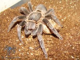 Breeding Report: Aphonopelma seemanni