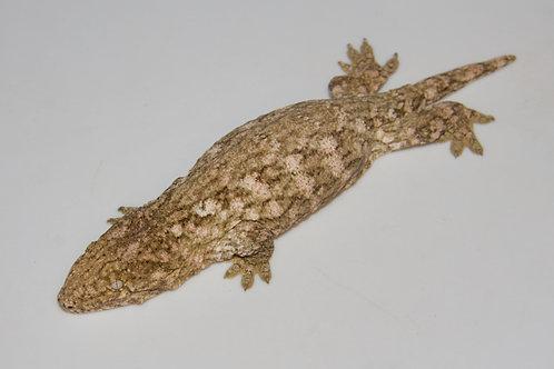 Moro (Isle E) Leachie - Rhacodactylus leachianus  - ID:20DE2