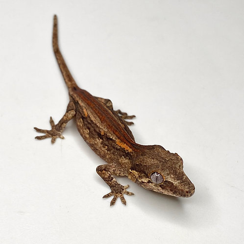 Red Striped Gargoyle Gecko  - ID:20CX1M