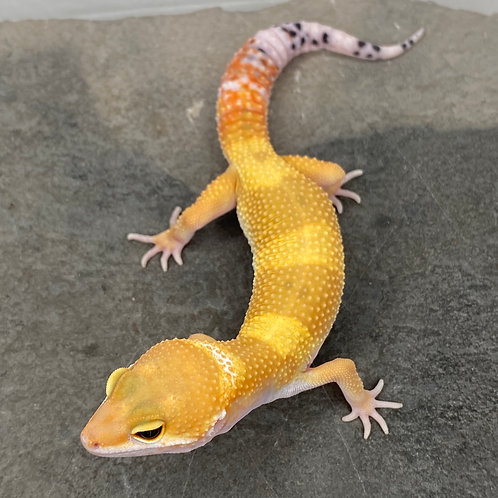 White and Yellow Tangerine Leopard Gecko - Male - ID:21X1M