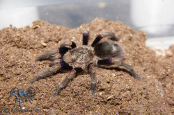 """Euthalus sp. or Homoeomma sp. """"blue"""""""