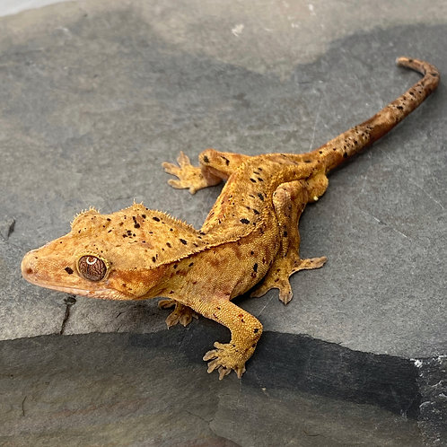 Red Dalmatian Crested Gecko ID: 19EN2M