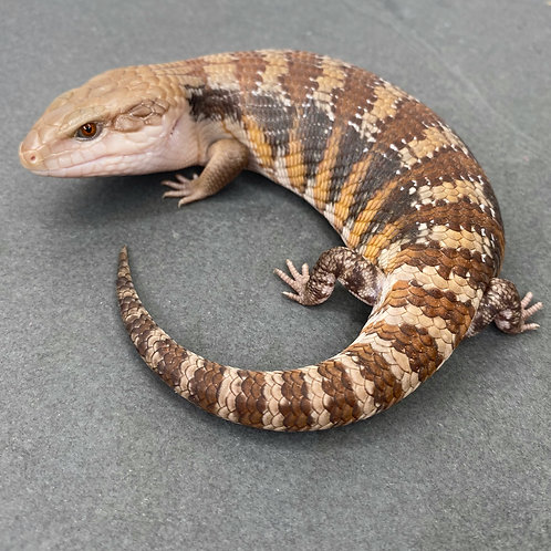 Northern Blue Tongue Skink - ID: 21CL1