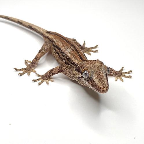 Striped Gargoyle Gecko - Male - ID: 19CJ1M