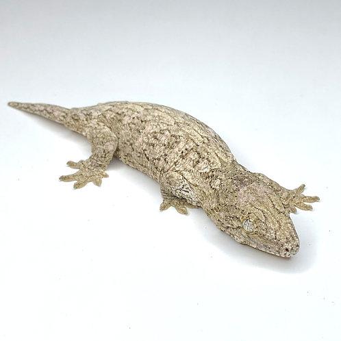 Moro (Isle E) Leachie - Rhacodactylus leachianus  - ID:20DE1