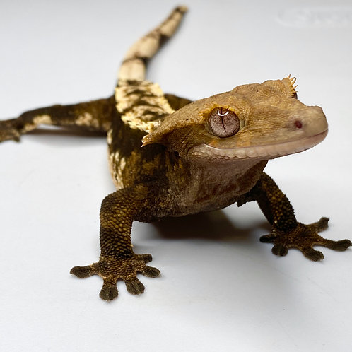 Harlequin Crested Gecko ID:18CR6M