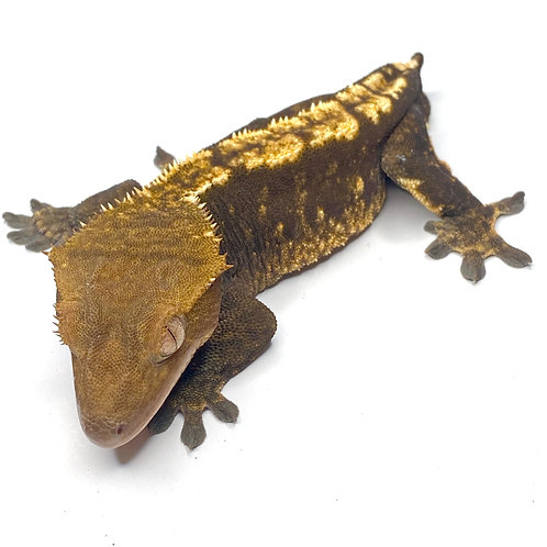 Adult Male Harlequin Crested Gecko ID: 17A9M