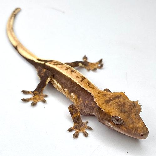 Harlequin Crested Gecko ID: 20BA1