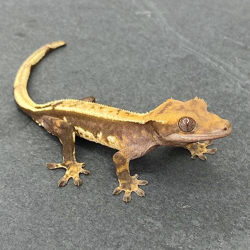 Pinstripe Harlequin Crested Gecko ID: 20X2