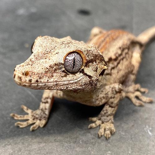 Striped Gargoyle Gecko  - ID:20CX1M