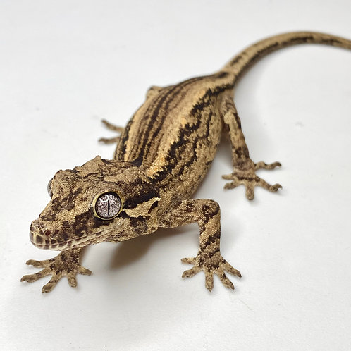 Striped Gargoyle Gecko  - ID:20J1M