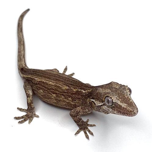 Striped Gargoyle Gecko  - ID:20L1F