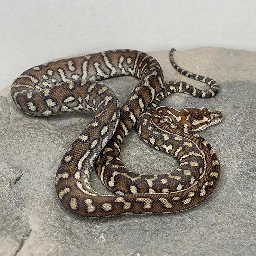 Bredl's Python - Poss. Het. Striped - 2020 Male  - ID: 20DK13M