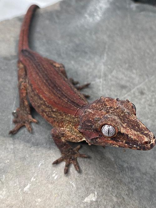 Red Striped Gargoyle Gecko - Male - ID: 19DT1M