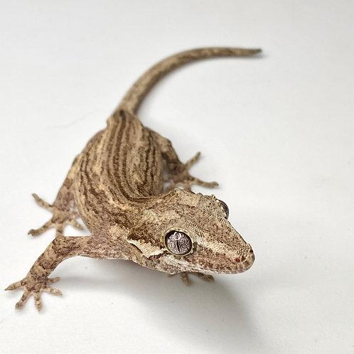 Striped Gargoyle Gecko  - ID:20L1
