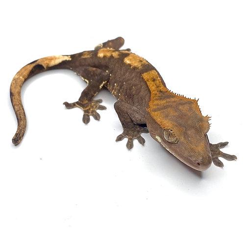 Harlequin Crested Gecko ID: 19BI1