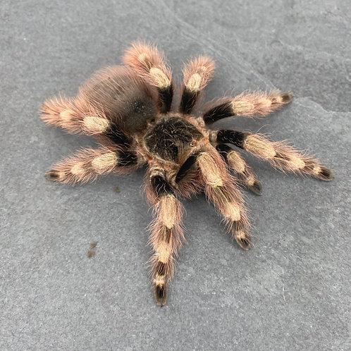 "Nhandu coloratovillosus 0.75-1"""