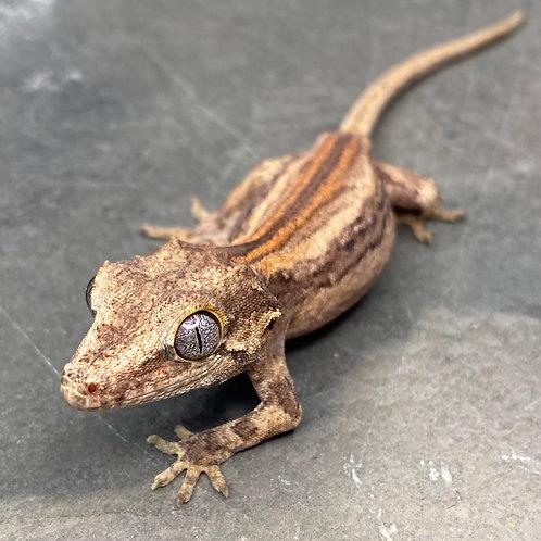 Striped Gargoyle Gecko  - ID:20CX2M