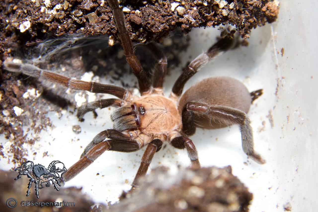 """Orphnaecus sp. """"Kakitebal"""""""
