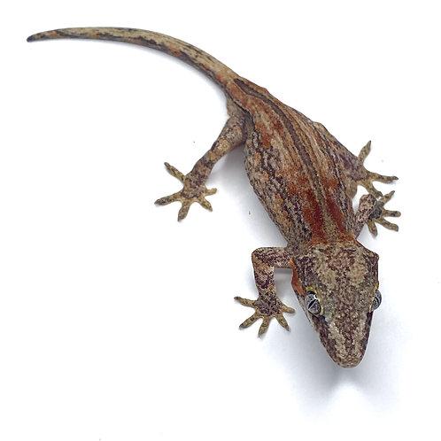 Striped Gargoyle Gecko - Male - 19EI1M