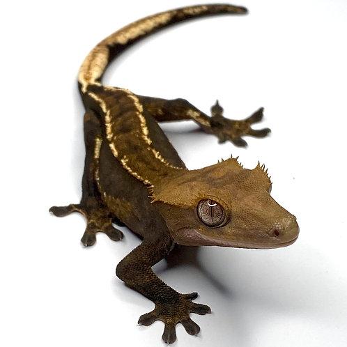 Dark Harlequin Crested Gecko ID: 19BK2