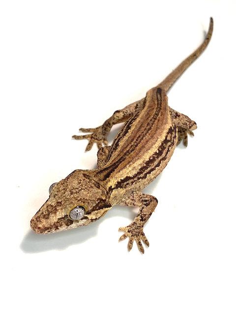 Gargoyle Gecko: ID: 19AN2