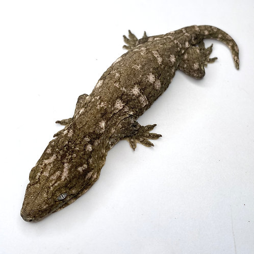 Moro (Isle E) Leachie - Rhacodactylus leachianus  - ID:20DF1