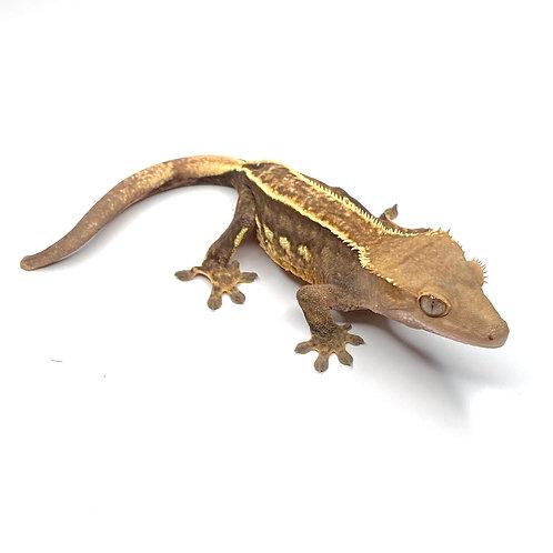 Pinstripe Harlequin Crested Gecko - Female - ID: 19J4F