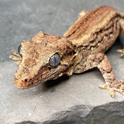 Striped Gargoyle Gecko - Male - ID: 19O2M