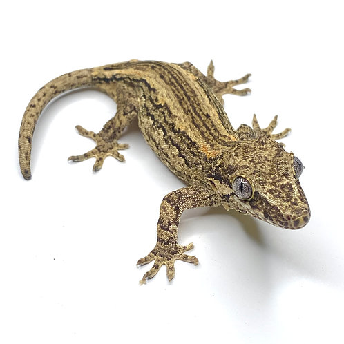 Striped Gargoyle Gecko- ID: 19A2F