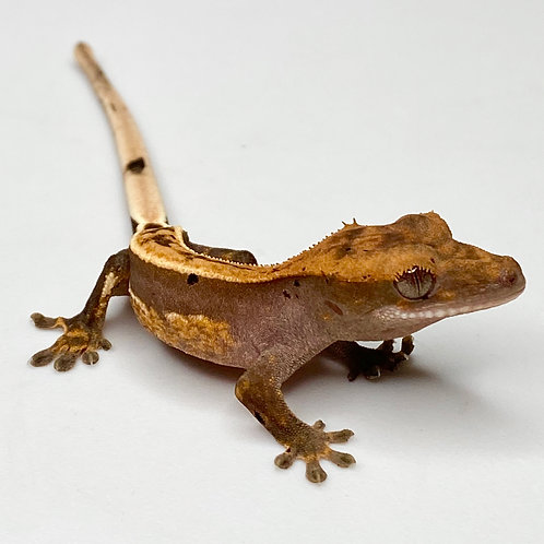 Harlequin Crested Gecko ID: 20BH1