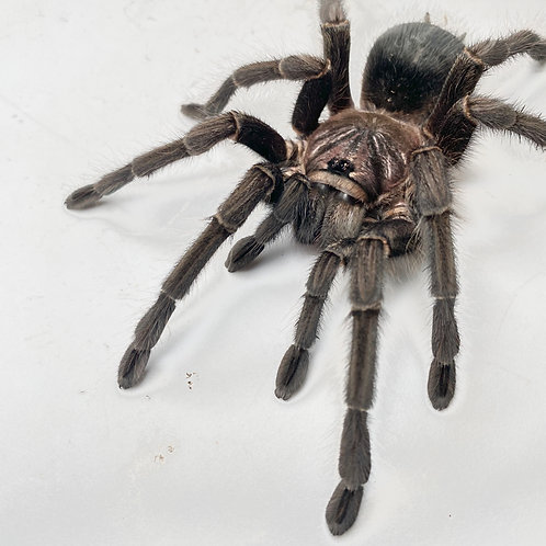 """Phormictopus sp. """"Green (Gold Carapace)"""" - 0.75"""""""