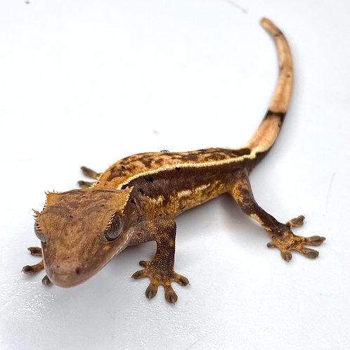 Harlequin Crested Gecko ID: 20AA2