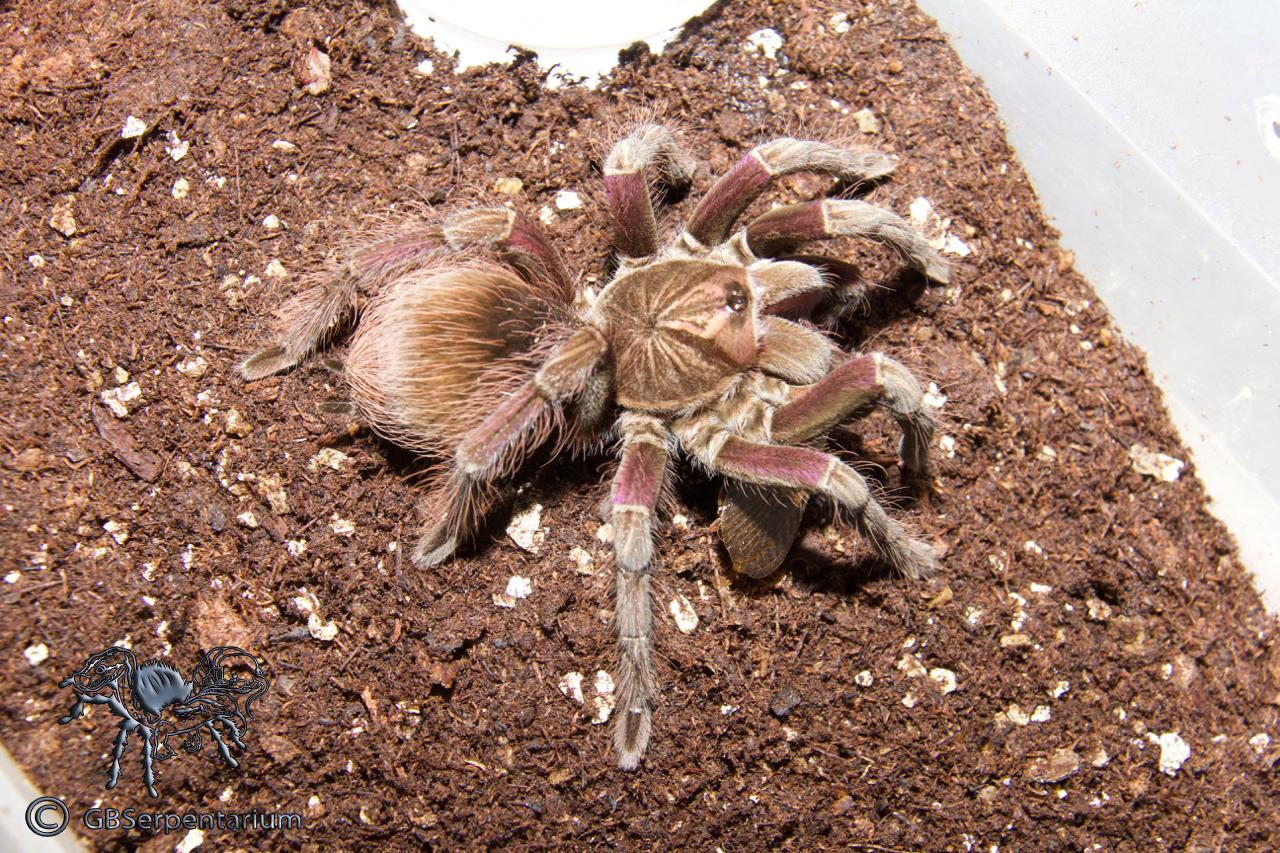 "Pamphobeteus sp. ""South Ecuador II"""
