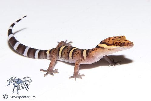 Bawangling Cave Gecko ID:18BU1M