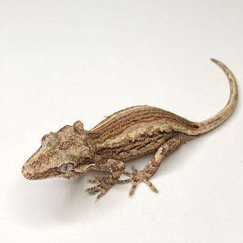 Striped Gargoyle Gecko  - ID:20H1*