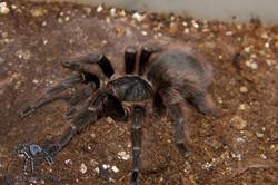 Nhandu carapoensis