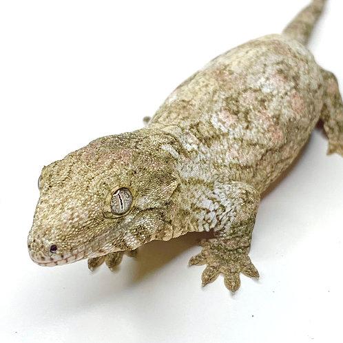 Moro (Isle E) Leachie - Rhacodactylus leachianus  - ID:20BW1
