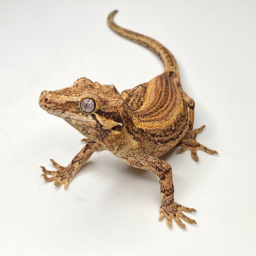 Striped Gargoyle Gecko - Male - ID: 19BK1M