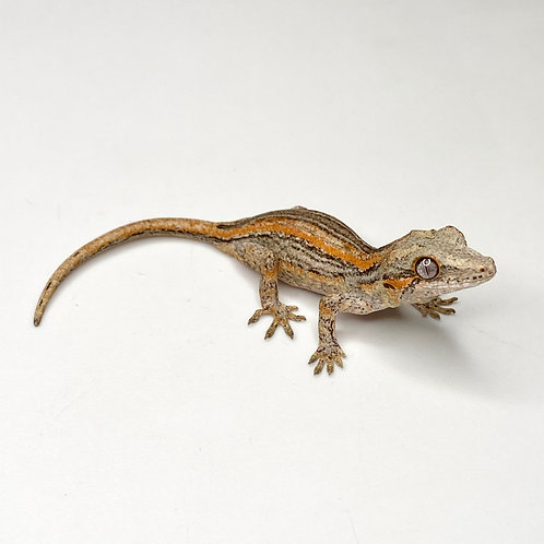 Orange Striped Gargoyle Gecko  - ID:20DV2M
