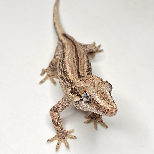 Striped Gargoyle Gecko - Male - ID: 19CJ1M