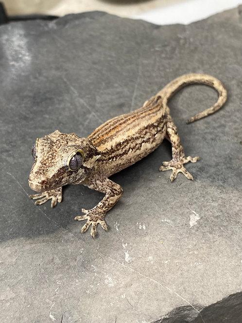 Striped Gargoyle Gecko - Male - ID:20H2M
