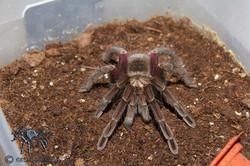"""Pamphobeteus sp. """"South Equador II"""""""