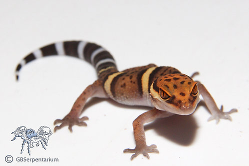 Cave Gecko - Bawangling Cave Gecko