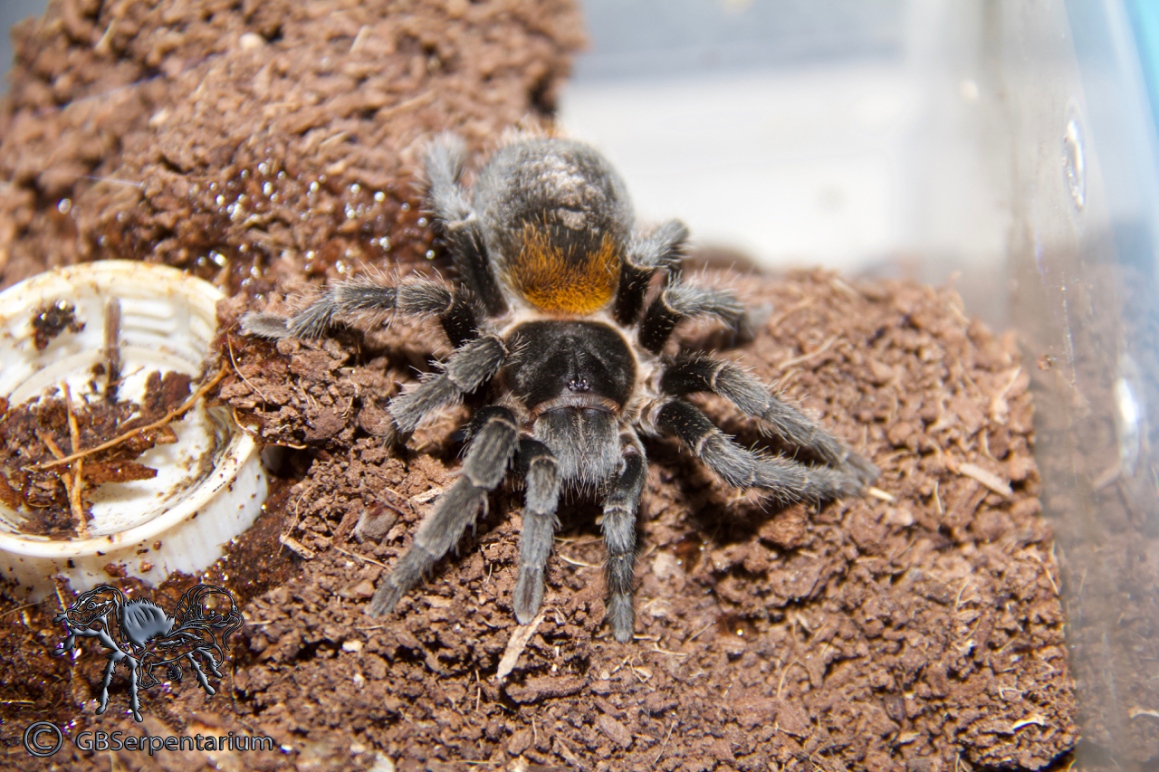 """Euathlus or Homoeomma sp. """"red"""""""