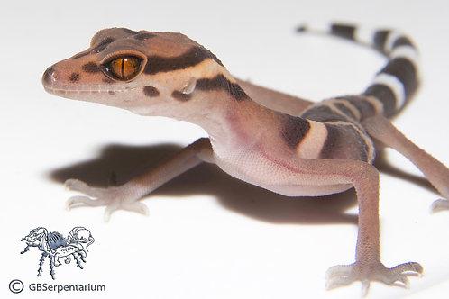 Cave Gecko - Vietnamese Cave Geckos