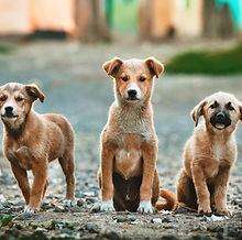 Three Big Puppies